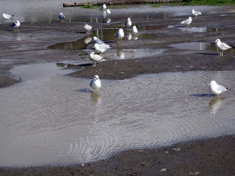 SeagullsPuddle
