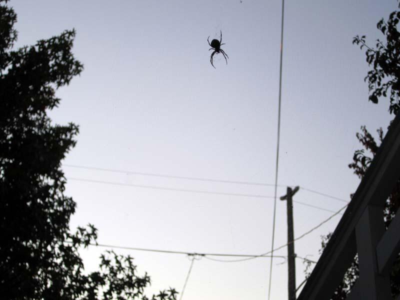 Halloween SPIDER dusk