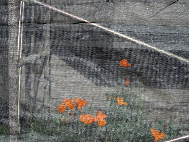 Poppies behind screen