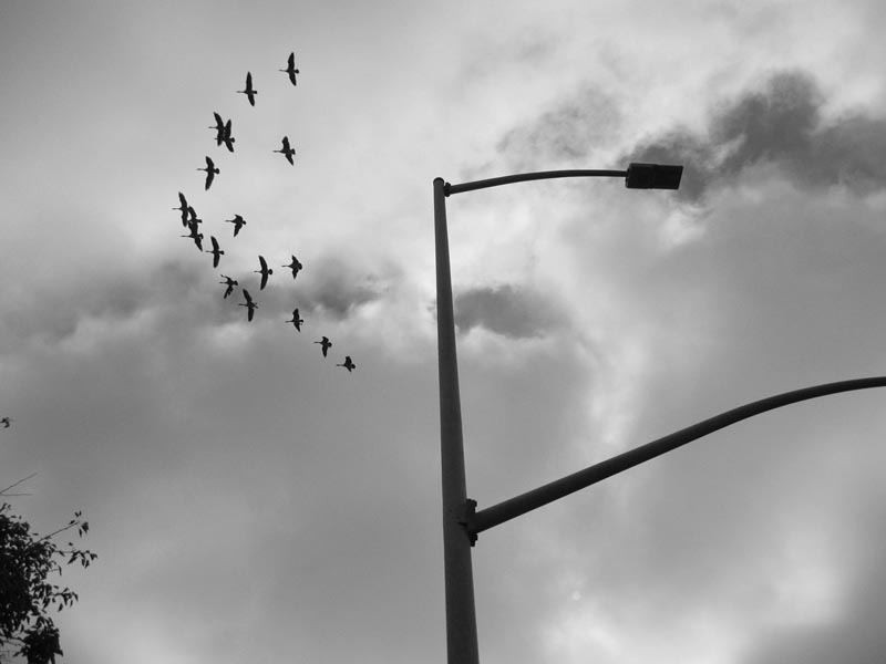 Geese and lamp post -bw- photo by max clarke