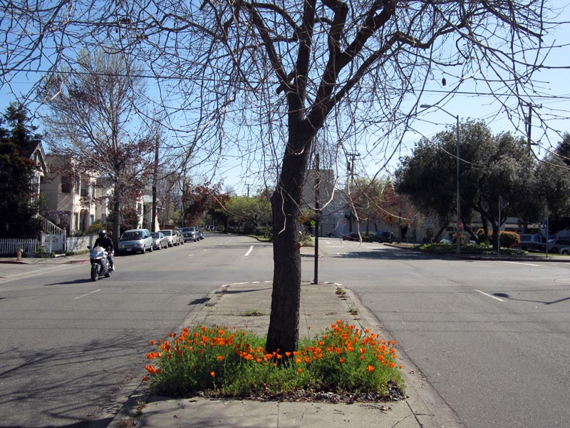 Poppies median