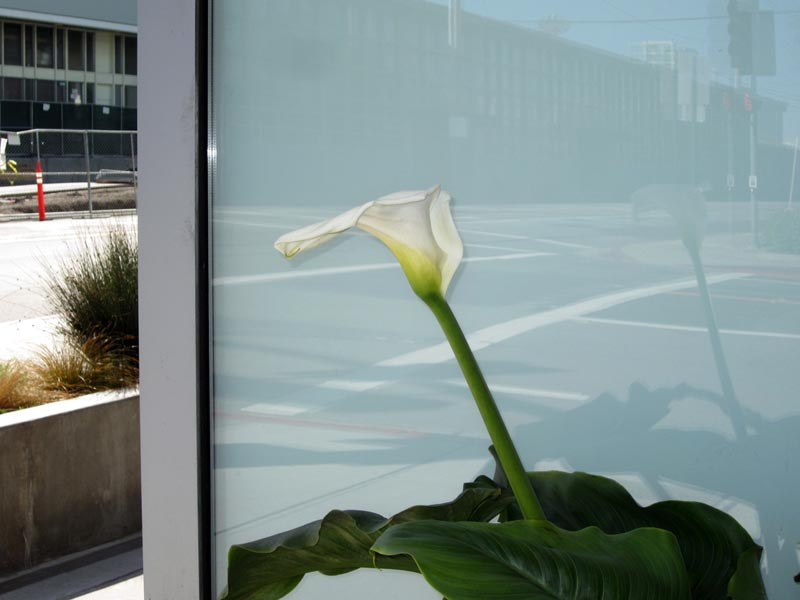 Calla lily reflected