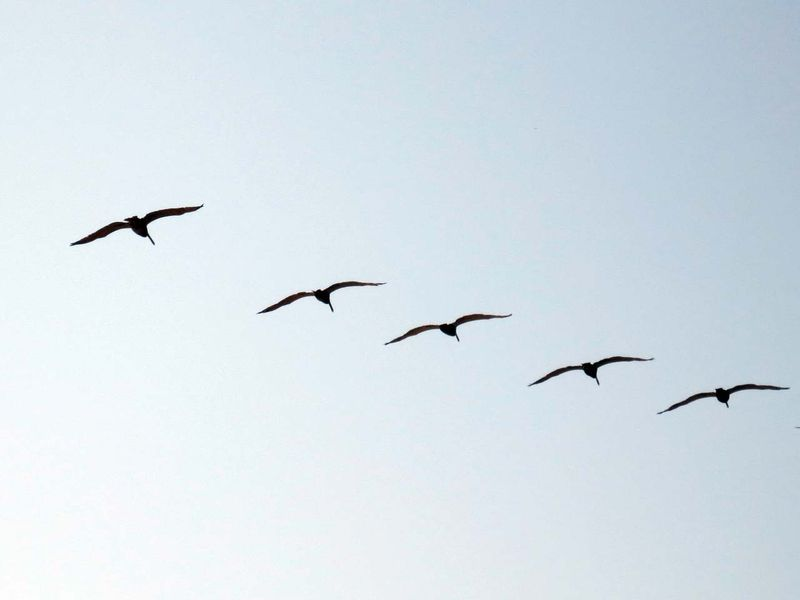 Five Pelicans - photo by Max Clarke
