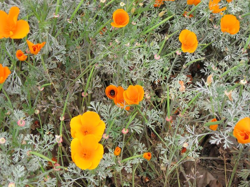 California Poppy © photo by Max Clarke