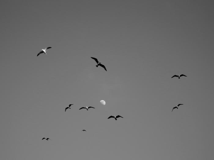 Seagulls Around The Moon-©-photo by Max Clarke