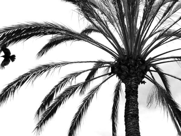 Crow and Palm Tree-©-photo by Max Clarke