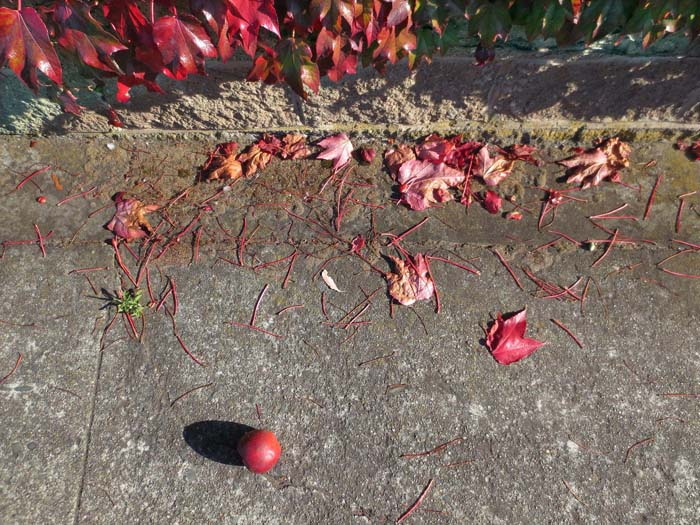 Red Apple and Leaves -©- photo by Max Clarke