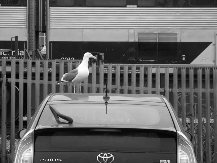 Hybrid Seagull - by Max Clarke