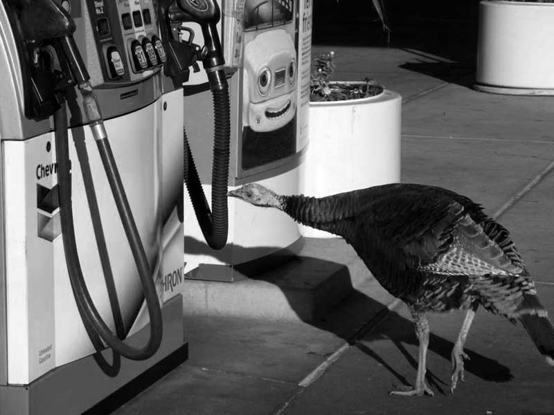 TURKEY-AT-THE-GAS-PUMP---max-clarke