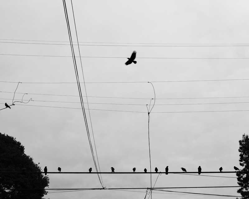 CROWS-ON-A-WIRE---max-clarke