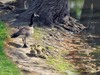 Sm_goose_at_pond